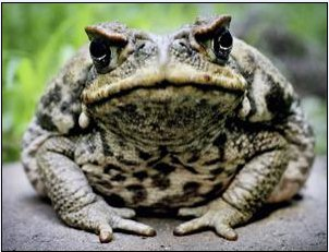 Is the cane toad really such a scourge?